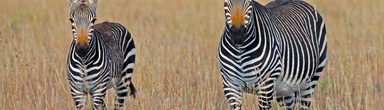 Zèbres en Afrique du Sud par George Brits
